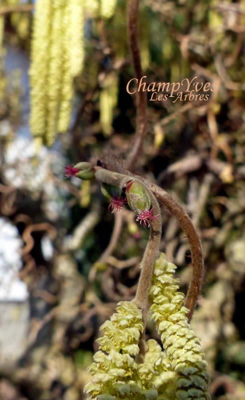 Le Noisetier Corylus Avellana Champyves
