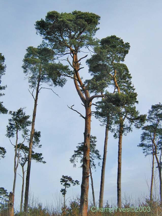 pins sylvestre terrasse baudouin de lorgeril