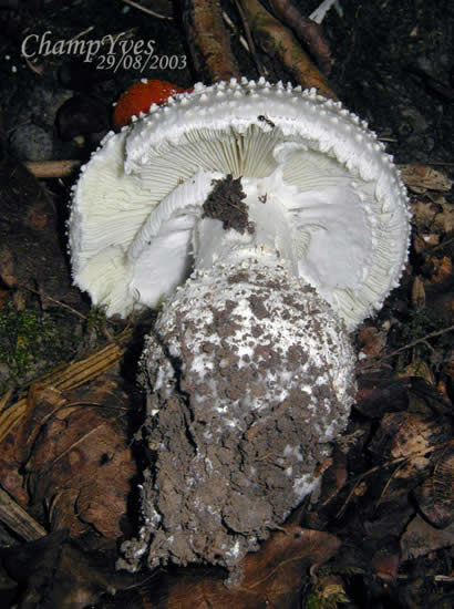 Photo:Amanita echinocephala Amanite à verrues