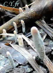 Xylaria longipes, forme conidienne.