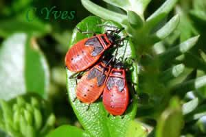 Pyrrhocoris apterus gendarme suisse punaise rouge ou cherche midi - Insecte rouge et noir ...