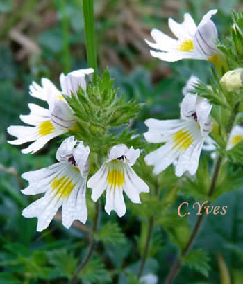 Euphrasia officinalis, Eupphraise commune.