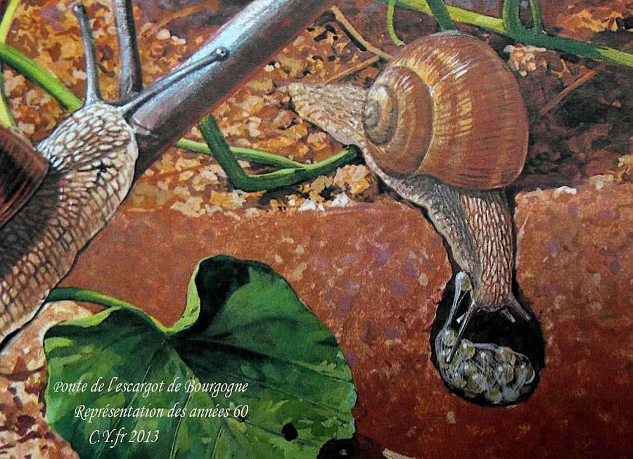 escargot de bourgogne elevage
